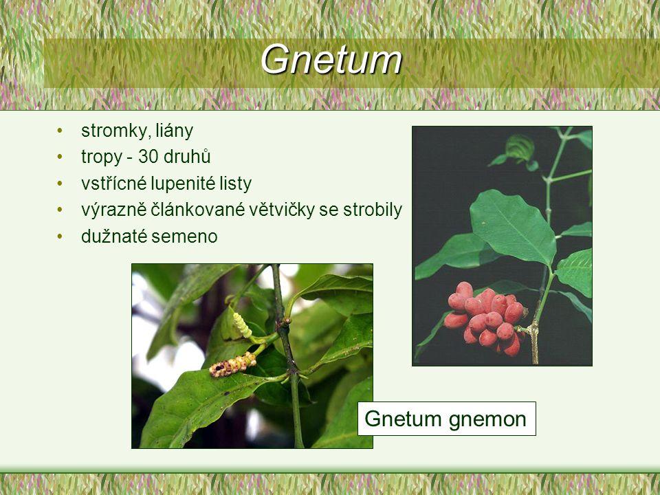 Gnetum stromky, liány tropy - 30 druhů vstřícné lupenité listy výrazně článkované větvičky se strobily dužnaté semeno Gnetum gnemon