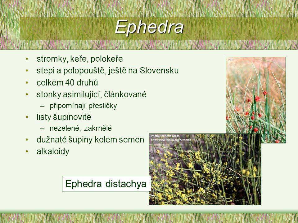 Ephedra stromky, keře, polokeře stepi a polopouště, ještě na Slovensku celkem 40 druhů stonky asimilující, článkované –připomínají přesličky listy šup