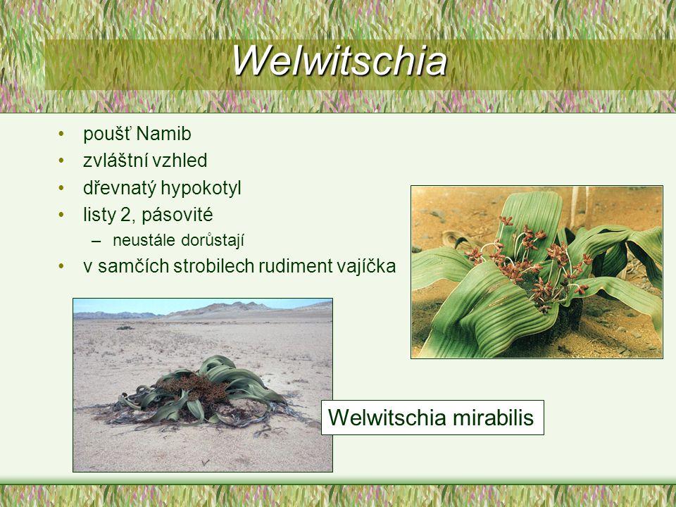 Welwitschia poušť Namib zvláštní vzhled dřevnatý hypokotyl listy 2, pásovité –neustále dorůstají v samčích strobilech rudiment vajíčka Welwitschia mir