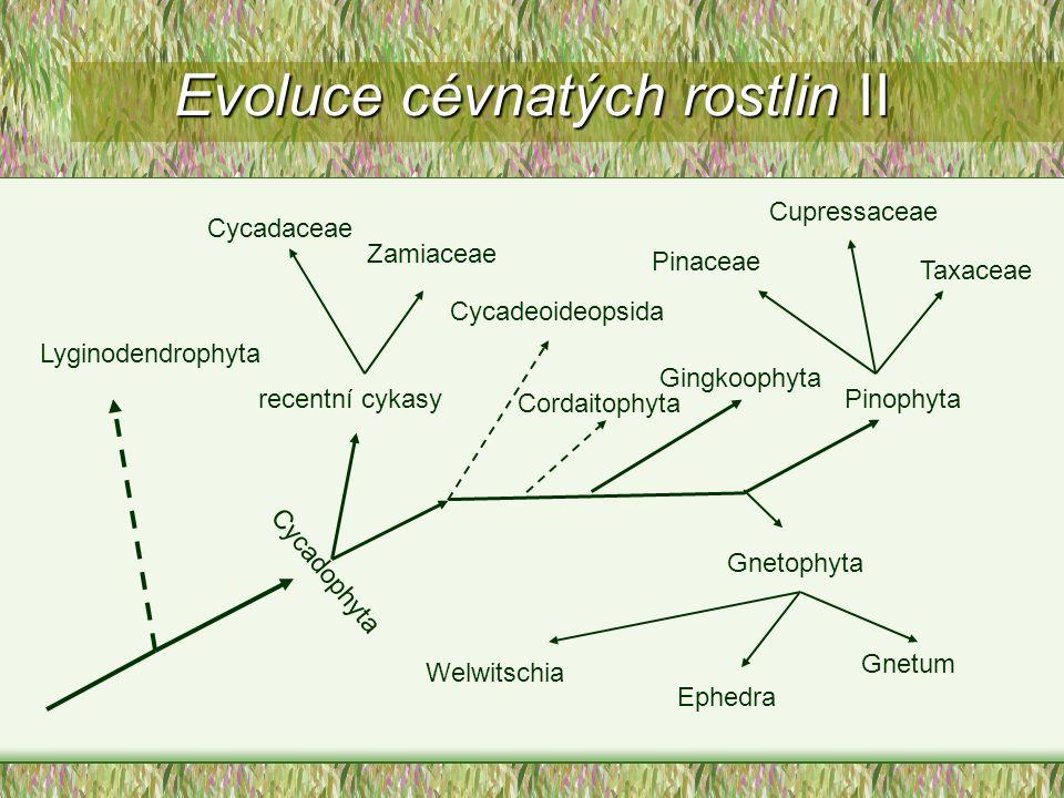 Evoluce cévnatých rostlin II Lyginodendrophyta Cycadophyta Cycadaceae Zamiaceae recentní cykasy Gingkoophyta Cordaitophyta Cycadeoideopsida Welwitschi