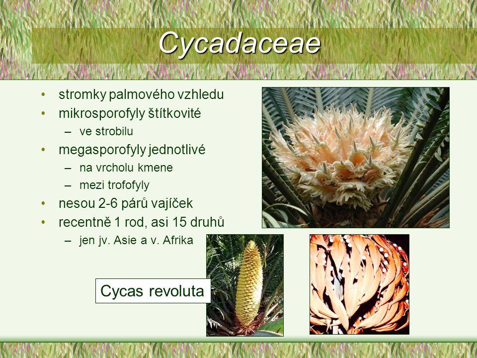 Cycadaceae stromky palmového vzhledu mikrosporofyly štítkovité –ve strobilu megasporofyly jednotlivé –na vrcholu kmene –mezi trofofyly nesou 2-6 párů