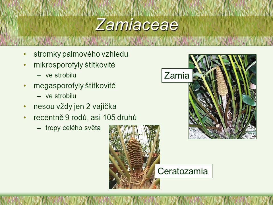 Zamiaceae stromky palmového vzhledu mikrosporofyly štítkovité –ve strobilu megasporofyly štítkovité –ve strobilu nesou vždy jen 2 vajíčka recentně 9 r