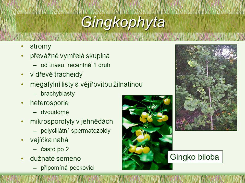 Gingkophyta stromy převážně vymřelá skupina –od triasu, recentně 1 druh v dřevě tracheidy megafylní listy s vějířovitou žilnatinou –brachyblasty heter