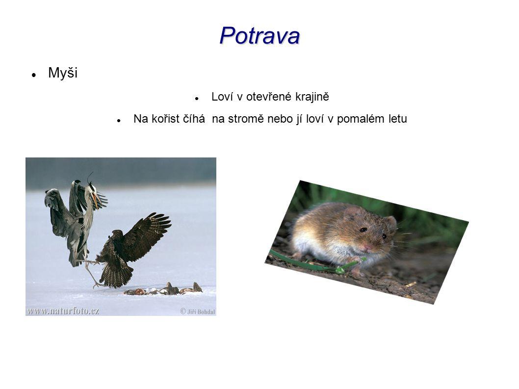 Myši Loví v otevřené krajině Na kořist číhá na stromě nebo jí loví v pomalém letu Potrava