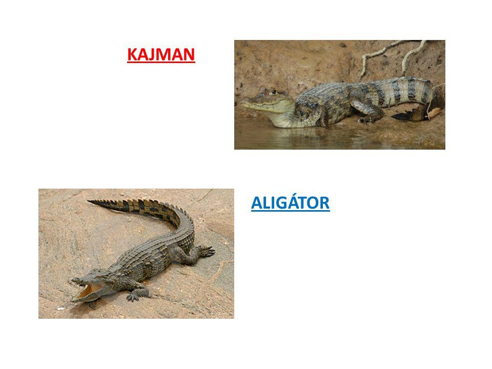 KAJMAN ALIGÁTOR