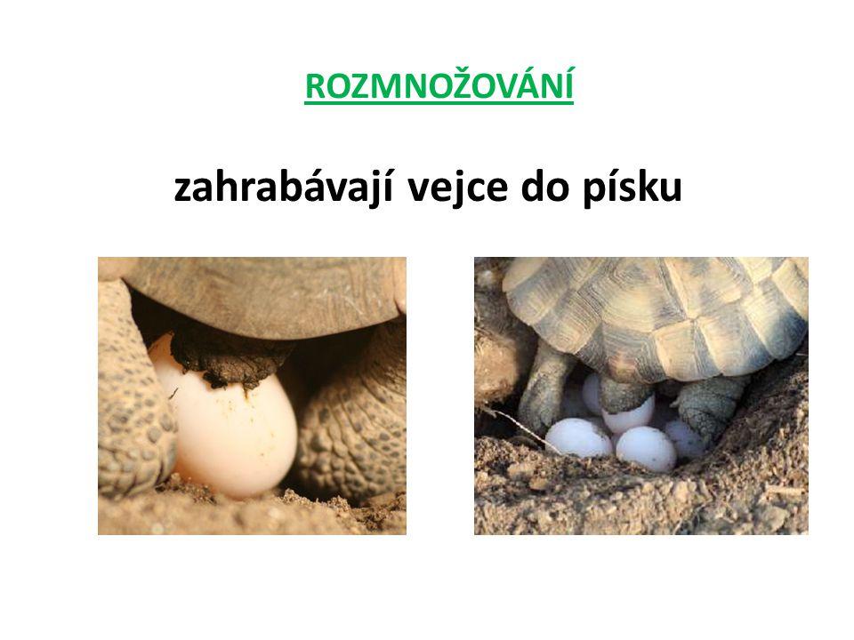 ROZMNOŽOVÁNÍ zahrabávají vejce do písku