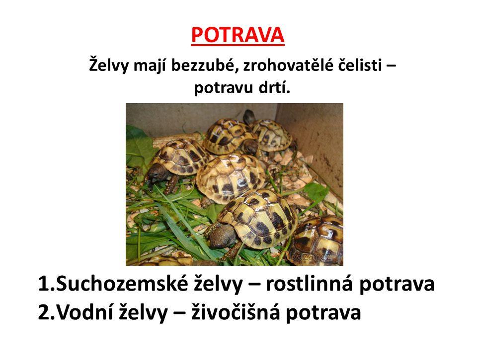 POTRAVA 1.Suchozemské želvy – rostlinná potrava 2.Vodní želvy – živočišná potrava Želvy mají bezzubé, zrohovatělé čelisti – potravu drtí.