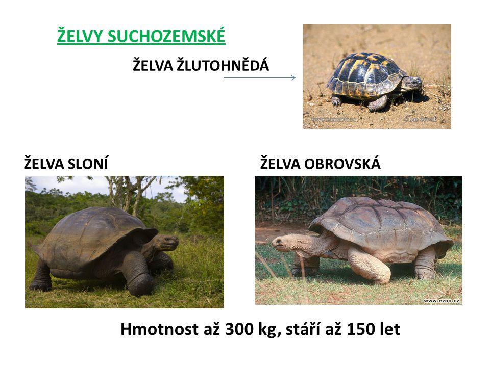 ŽELVY SUCHOZEMSKÉ ŽELVA SLONÍŽELVA OBROVSKÁ ŽELVA ŽLUTOHNĚDÁ Hmotnost až 300 kg, stáří až 150 let
