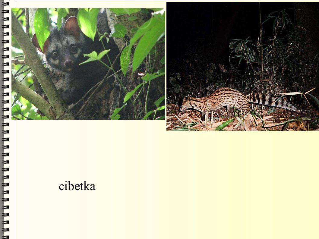 cibetka