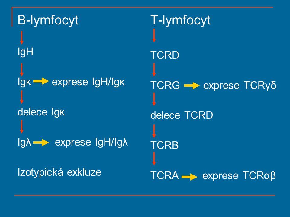 Imunoglobulin a přeskupení subgenů Ig subgeny – lokalizovány na chromozomech 2, 22, 14 TCR subgeny – 14, 7 V – subgeny kódují variabilní oblast C – subgeny kódují konstantní oblast J – subgeny kódují 12-21 koncových AA variabilní oblasti D – subgeny – každý kóduje asi 5 AA CDRIII úseku VJ somatická rekombinace – – κ a λ Ig řetězce – α a γ TCR VDJ somatická rekombinace – – IgH – β a δ TCR