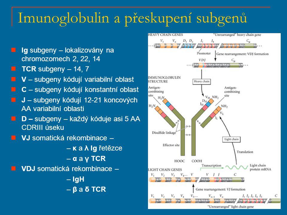 VDJ rekombinace Přeskupení TCR β Rekombinace subgenů V, D a J řízena RAG1 a RAG2 rekombinázovými enzymy RAG1 a RAG2 rozpoznávají specifické DNA sekvence RSS (rekombinační signální sekvence), lokalizované po obou stranách přeskupujících se subgenů RSS obsahují heptamery a nonamery, oddělené od sebe 12 nebo 23 páry bazí, kde dochází ke štěpení DNA a k ligaci vytvořených kódujících spojů Vytvoření funkčního Ig nebo TCR genového produktu