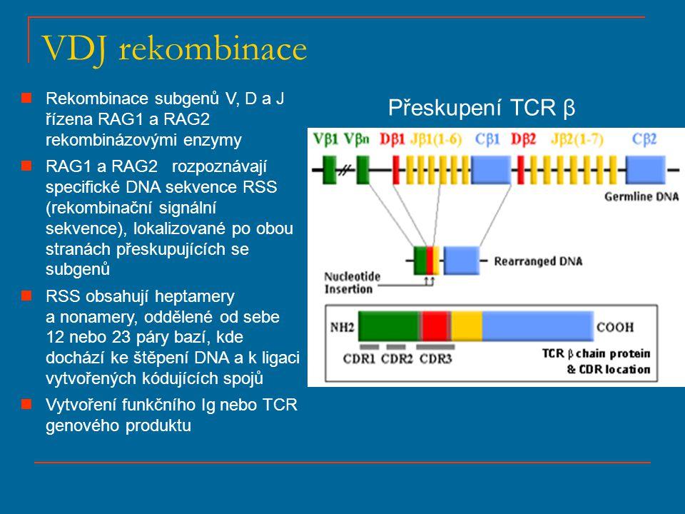 VDJ rekombinace Přeskupení TCR β Rekombinace subgenů V, D a J řízena RAG1 a RAG2 rekombinázovými enzymy RAG1 a RAG2 rozpoznávají specifické DNA sekven