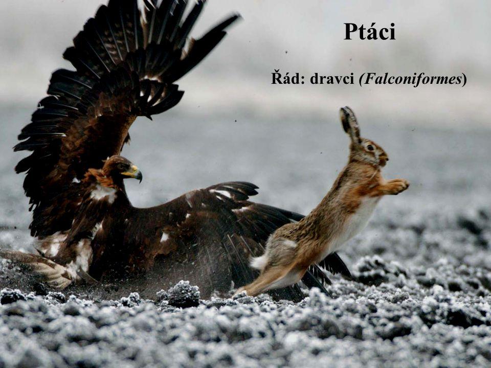 Ptáci Řád: dravci (Falconiformes)