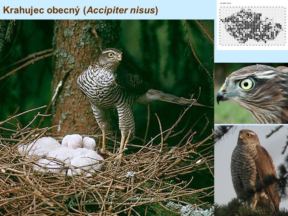 Krahujec obecný (Accipiter nisus)
