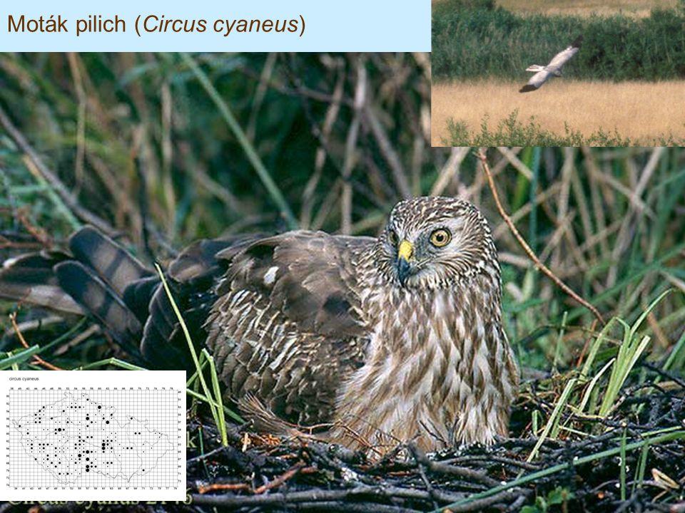 Moták pilich (Circus cyaneus)