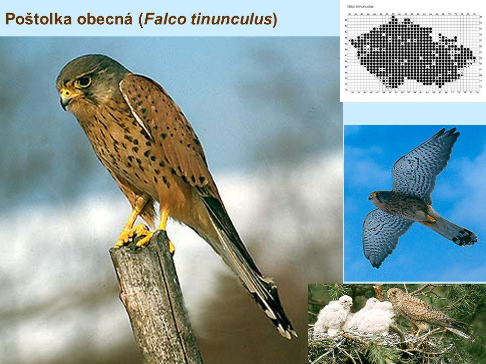 Poštolka obecná (Falco tinunculus)
