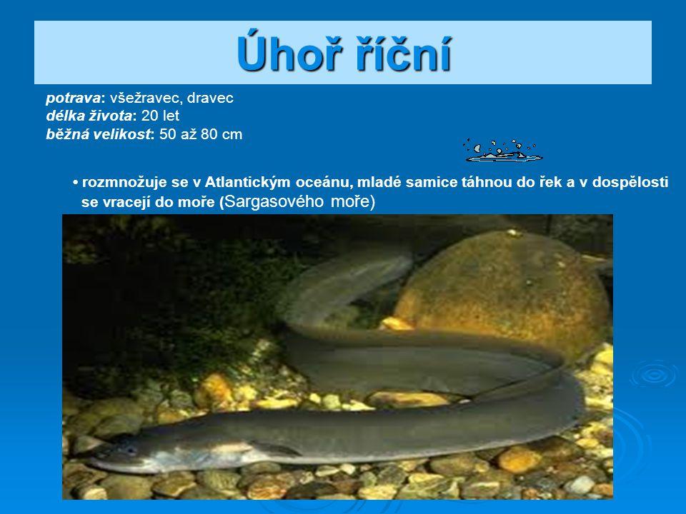 Naše všežravé ryby