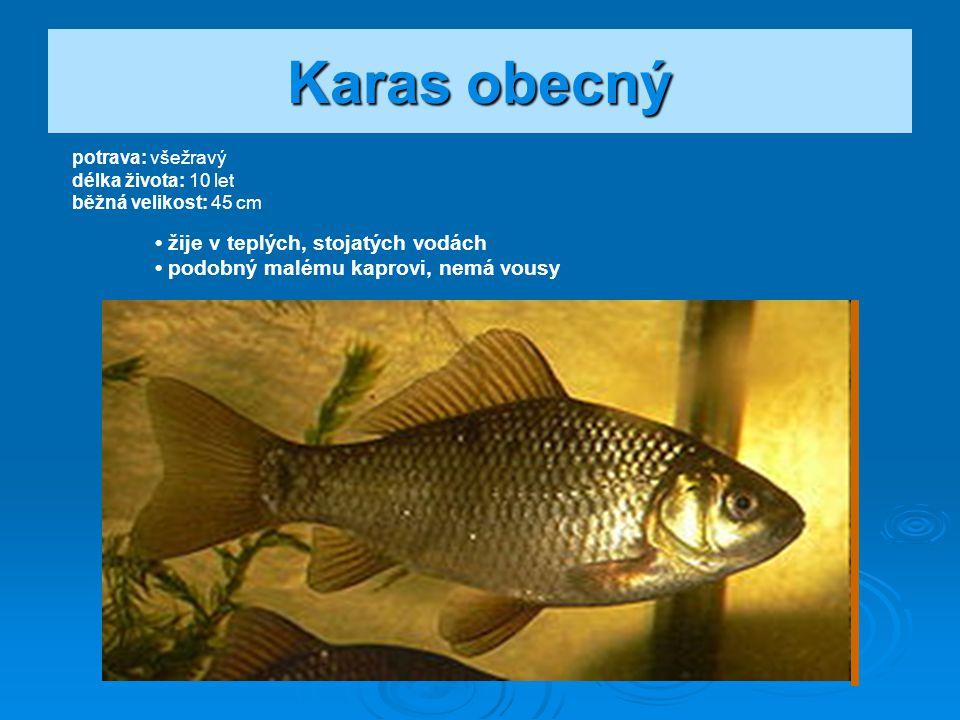 Plotice obecná potrava: všežravá délka života: 18 let běžná velikost: 25 - 30 cm hojná ve všech typech vod v nížině i v pahorkatině