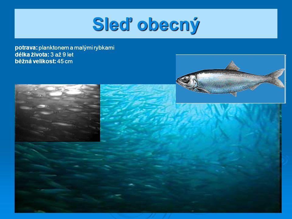 Sardinka obecná potrava: plankton délka života: 15 let běžná velikost: 19 až 20 cm