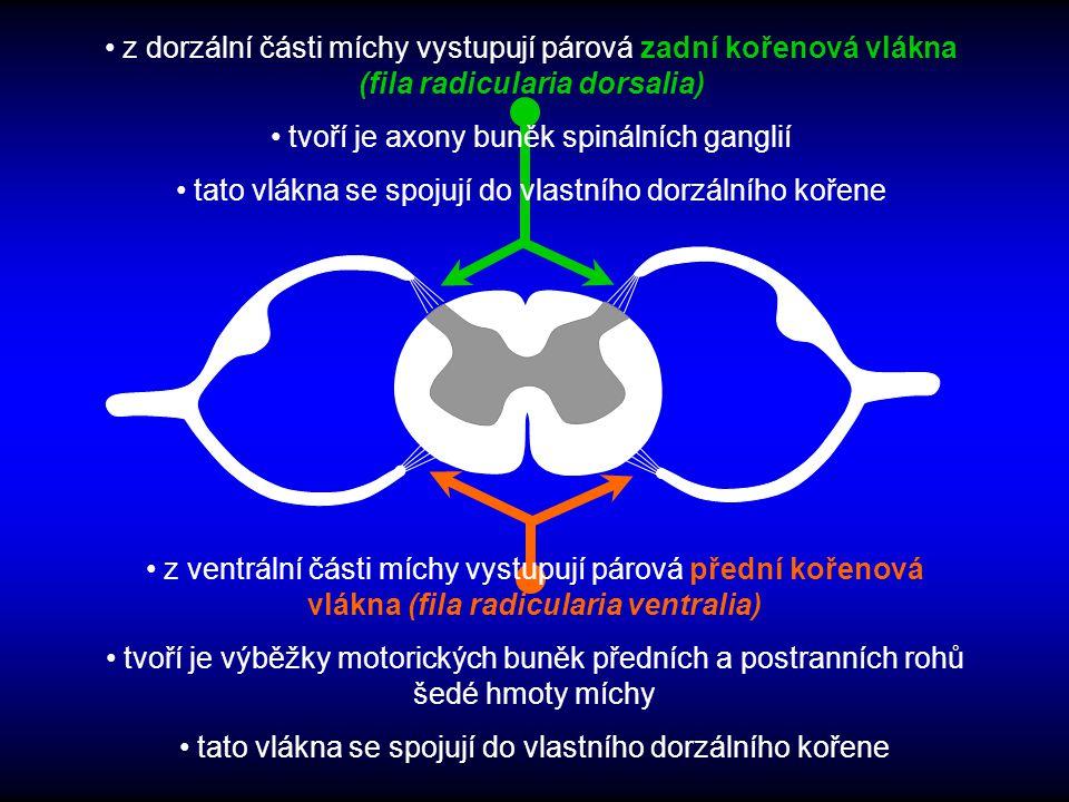 z ventrální části míchy vystupují párová přední kořenová vlákna (fila radicularia ventralia) tvoří je výběžky motorických buněk předních a postranních