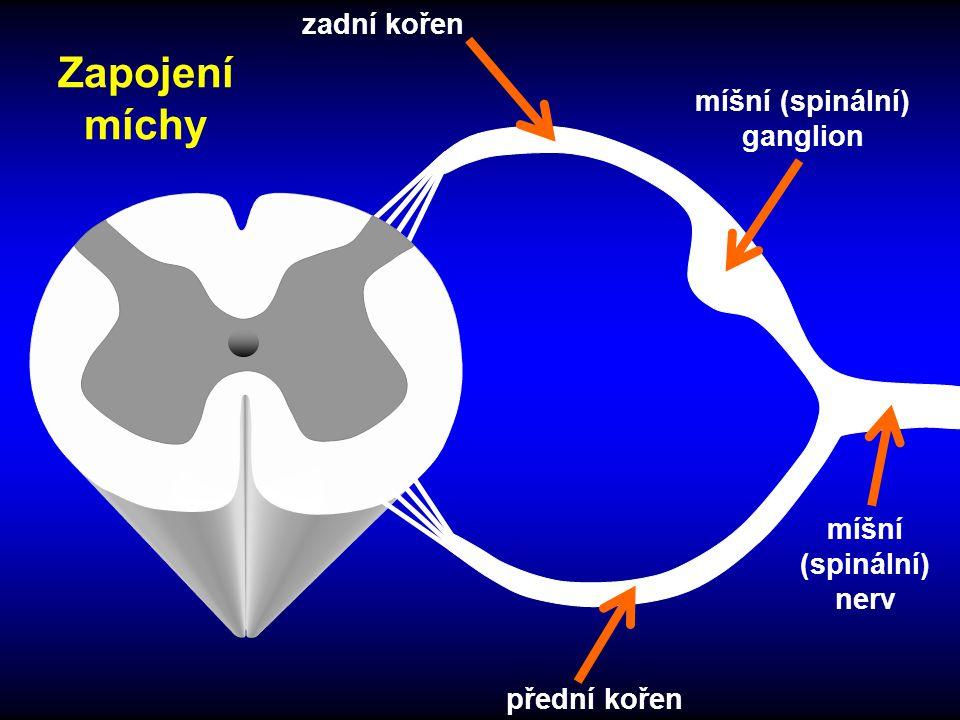 míšní (spinální) ganglion míšní (spinální) nerv zadní kořen přední kořen Zapojení míchy