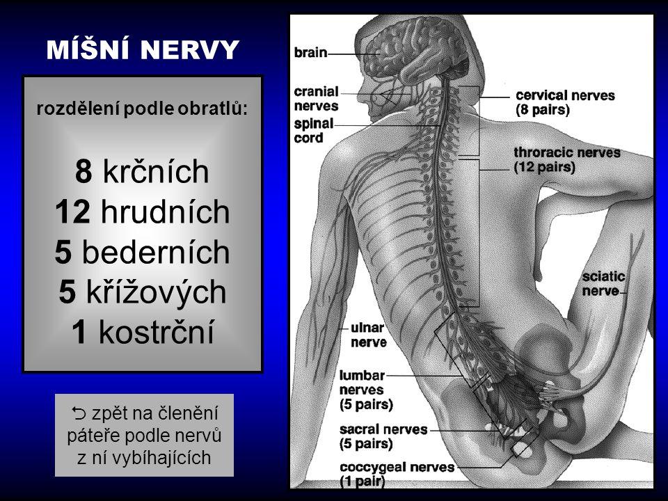 rozdělení podle obratlů: 8 krčních 12 hrudních 5 bederních 5 křížových 1 kostrční MÍŠNÍ NERVY  zpět na členění páteře podle nervů z ní vybíhajících