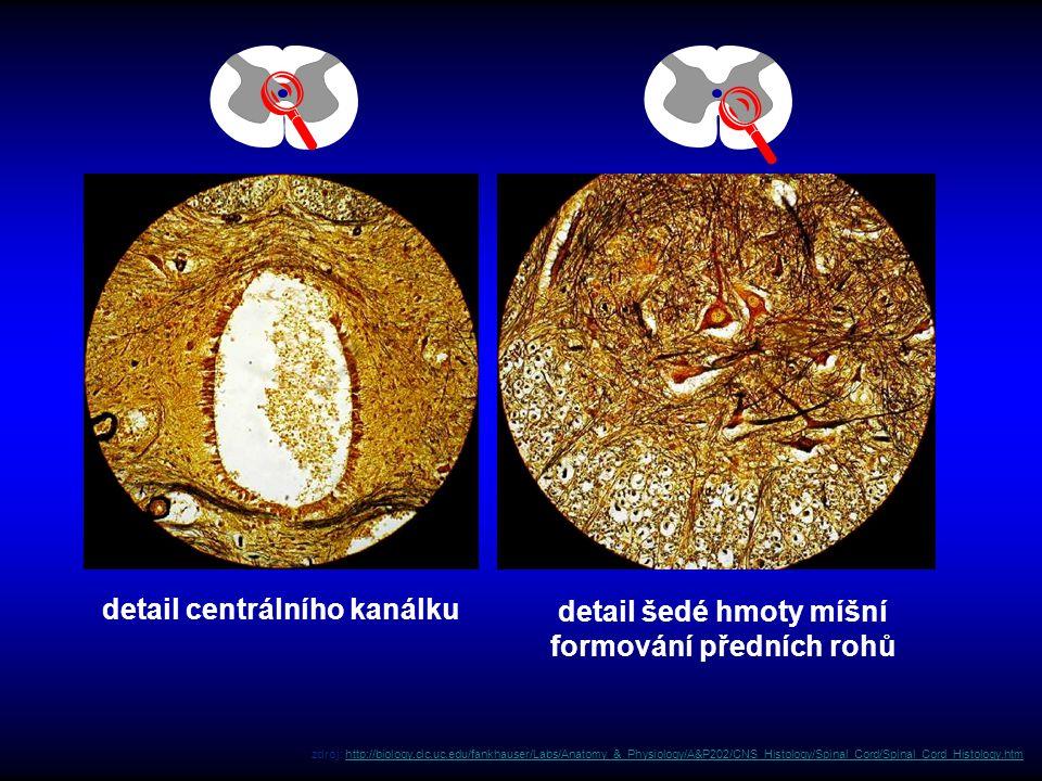 detail centrálního kanálku detail šedé hmoty míšní formování předních rohů zdroj: http://biology.clc.uc.edu/fankhauser/Labs/Anatomy_&_Physiology/A&P20