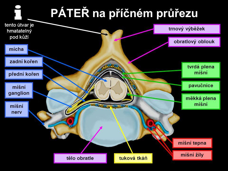 PÁTEŘ na příčném průřezu tento útvar je hmatatelný pod kůží tělo obratle trnový výběžek obratlový oblouk mícha zadní kořen přední kořen míšní nerv tvr
