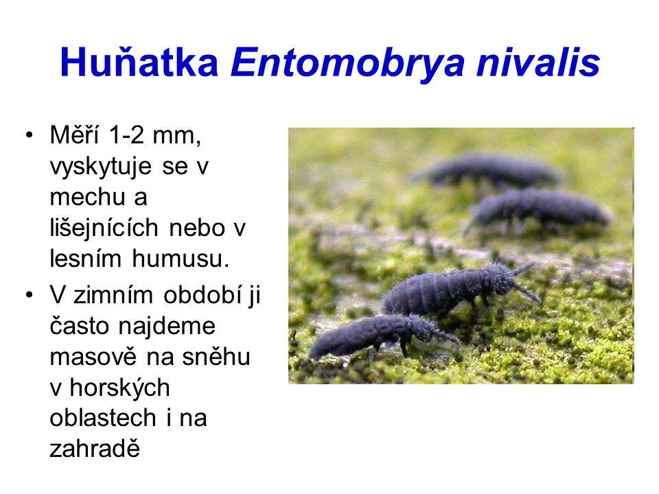 Huňatka Entomobrya nivalis Měří 1-2 mm, vyskytuje se v mechu a lišejnících nebo v lesním humusu. V zimním období ji často najdeme masově na sněhu v ho