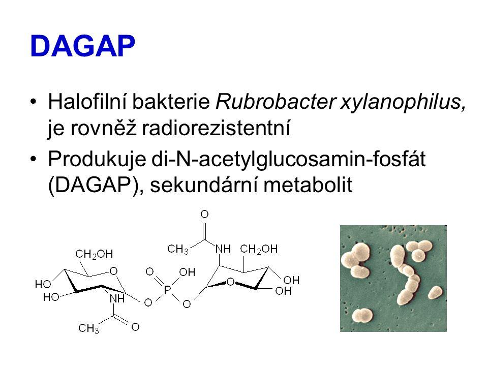 DAGAP Halofilní bakterie Rubrobacter xylanophilus, je rovněž radiorezistentní Produkuje di-N-acetylglucosamin-fosfát (DAGAP), sekundární metabolit