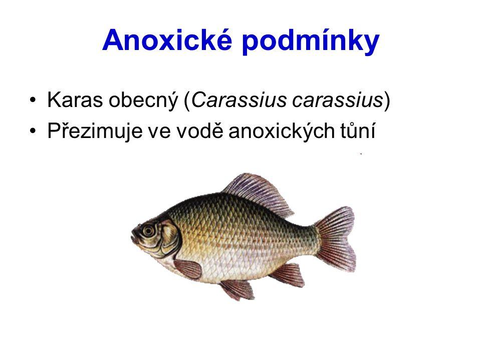 Anoxické podmínky Karas obecný (Carassius carassius) Přezimuje ve vodě anoxických tůní