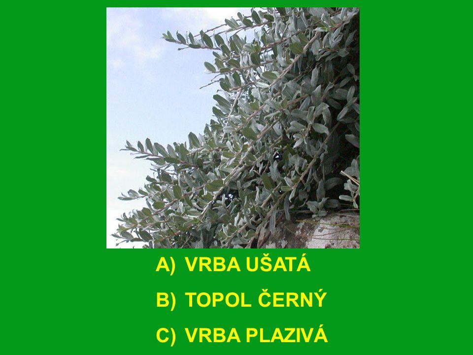 A) VRBA UŠATÁ B) TOPOL ČERNÝ C) VRBA PLAZIVÁ