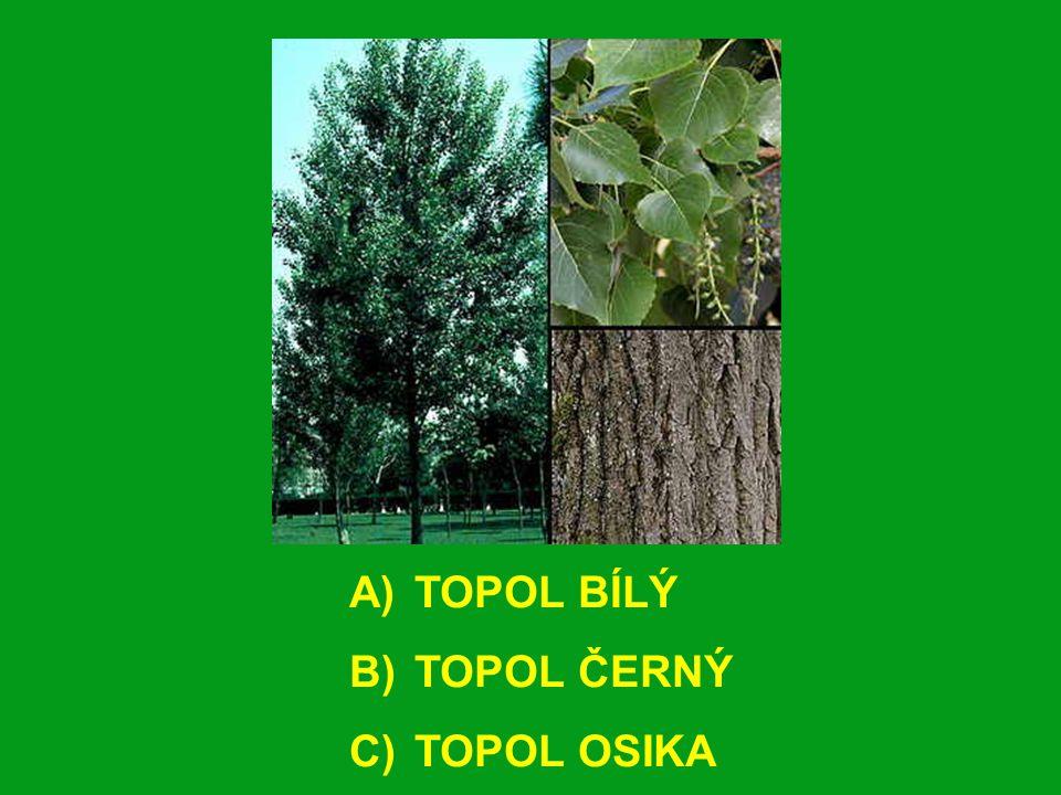 A) TOPOL BÍLÝ B) TOPOL ČERNÝ C) TOPOL OSIKA
