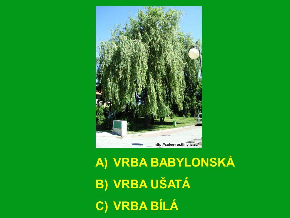 A) VRBA BABYLONSKÁ B) VRBA UŠATÁ C) VRBA BÍLÁ