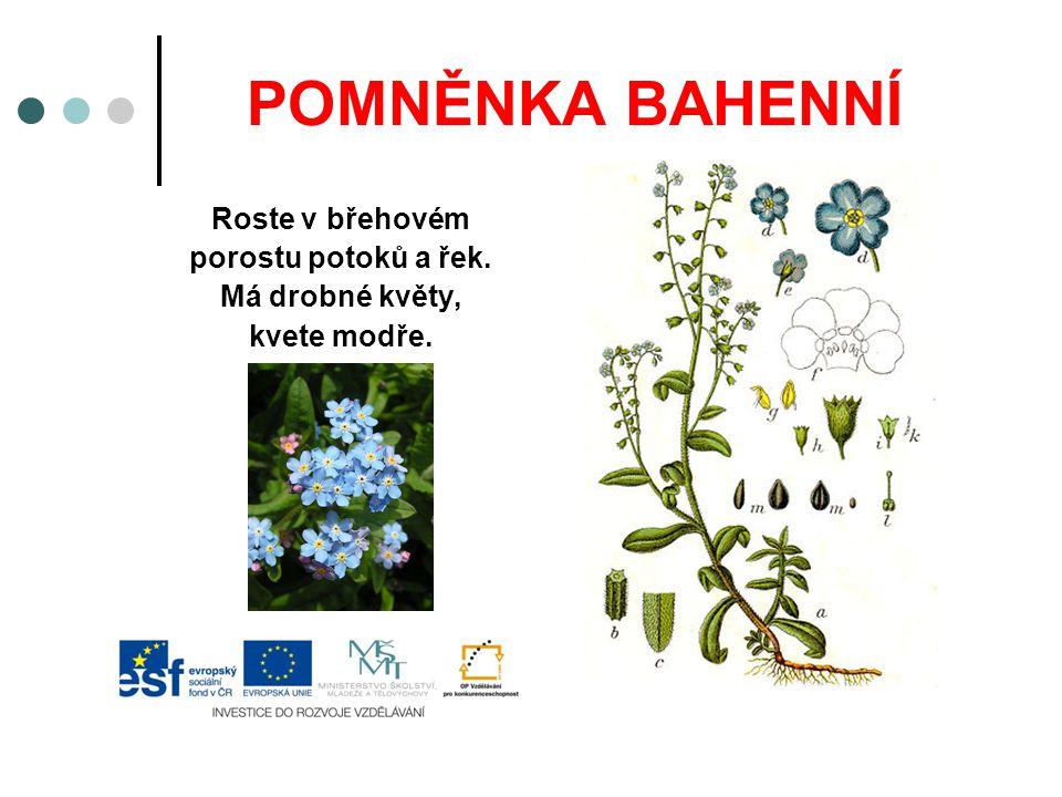POMNĚNKA BAHENNÍ Roste v břehovém porostu potoků a řek. Má drobné květy, kvete modře.