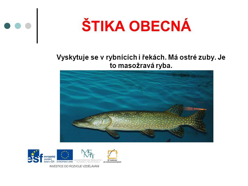 OKOUN ŘÍČNÍ Žije v řekách a rybnících.Je to masožravá ryba.