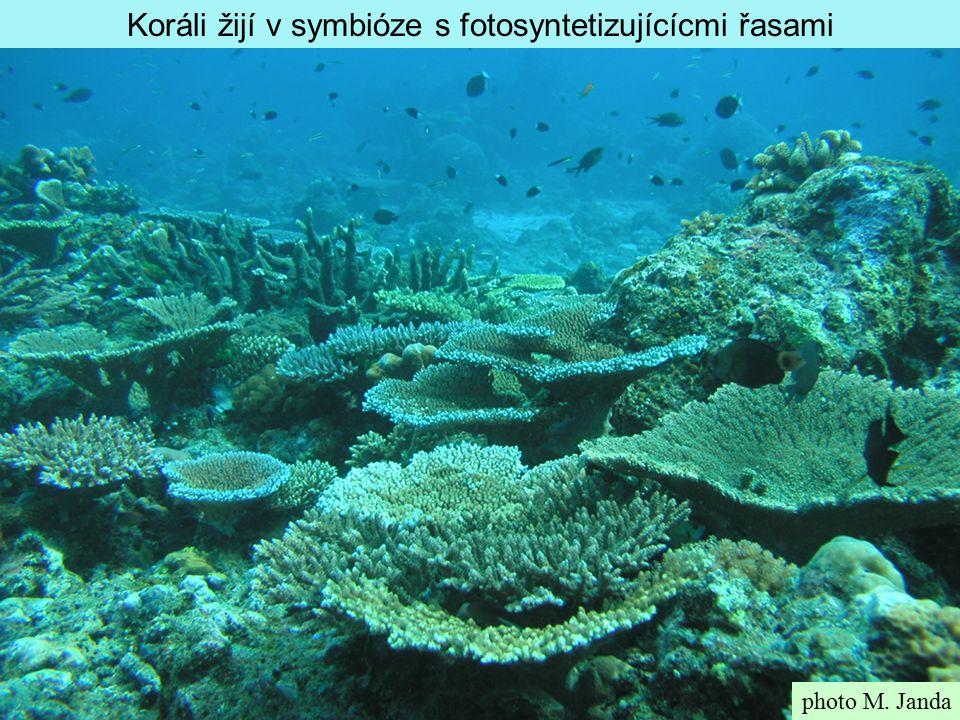 photo M. Janda Koráli žijí v symbióze s fotosyntetizujícícmi řasami