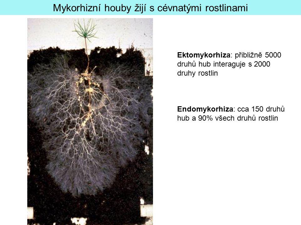 Mykorhizní houby žijí s cévnatými rostlinami Ektomykorhiza: přibližně 5000 druhů hub interaguje s 2000 druhy rostlin Endomykorhiza: cca 150 druhů hub