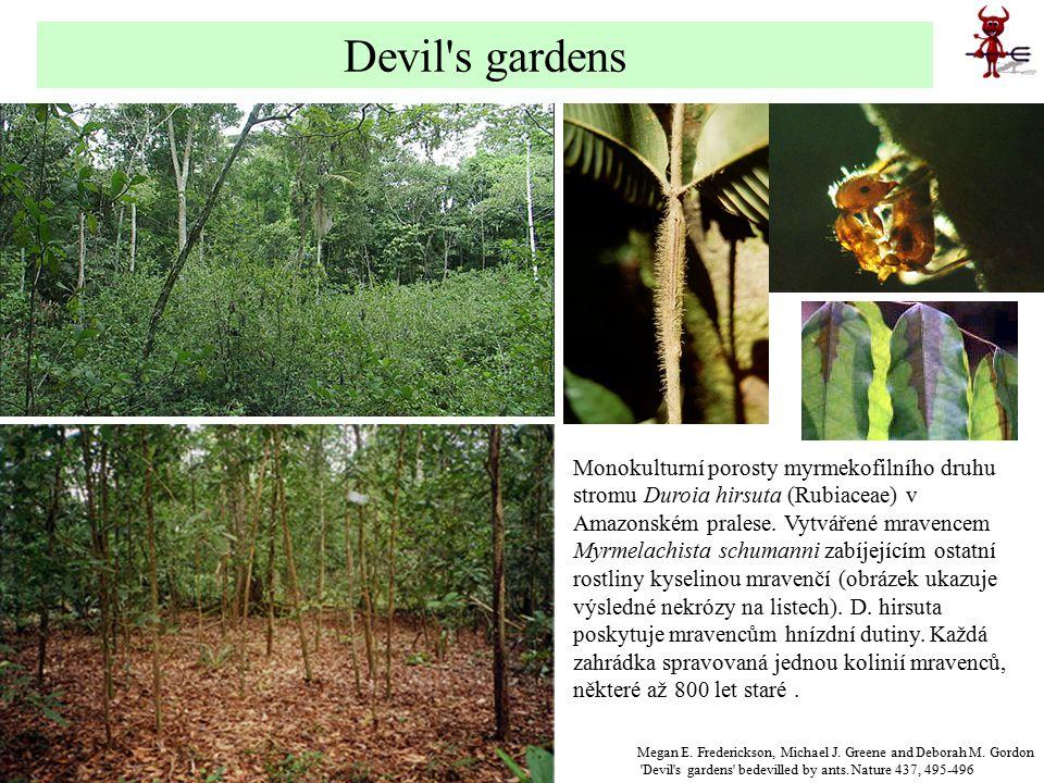 Monokulturní porosty myrmekofilního druhu stromu Duroia hirsuta (Rubiaceae) v Amazonském pralese. Vytvářené mravencem Myrmelachista schumanni zabíjejí