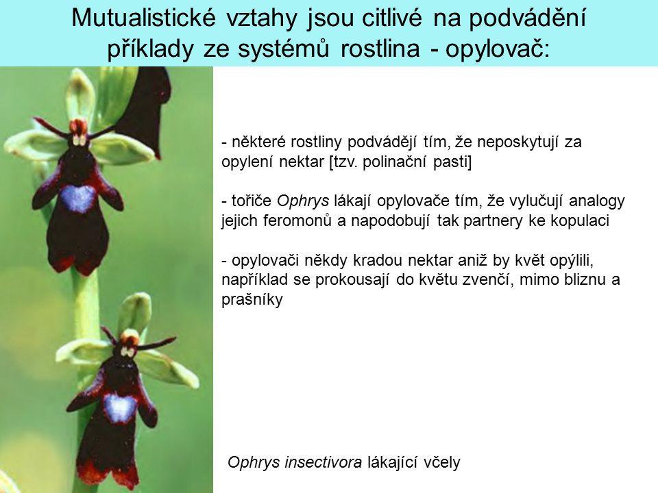 Ophrys insectivora lákající včely Mutualistické vztahy jsou citlivé na podvádění příklady ze systémů rostlina - opylovač: - některé rostliny podvádějí