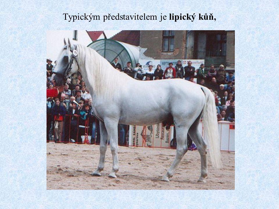 Typickým představitelem je lipický kůň,