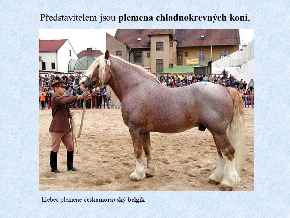 Představitelem jsou plemena chladnokrevných koní, hřebec plemene českomoravský belgik
