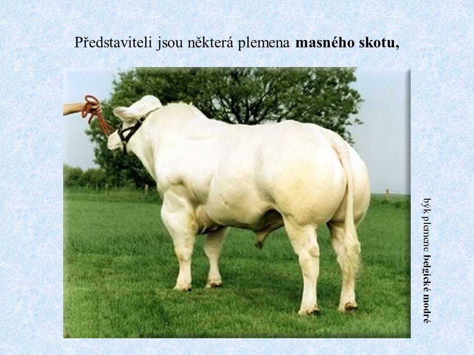 Představiteli jsou některá plemena masného skotu, býk plemene belgické modré