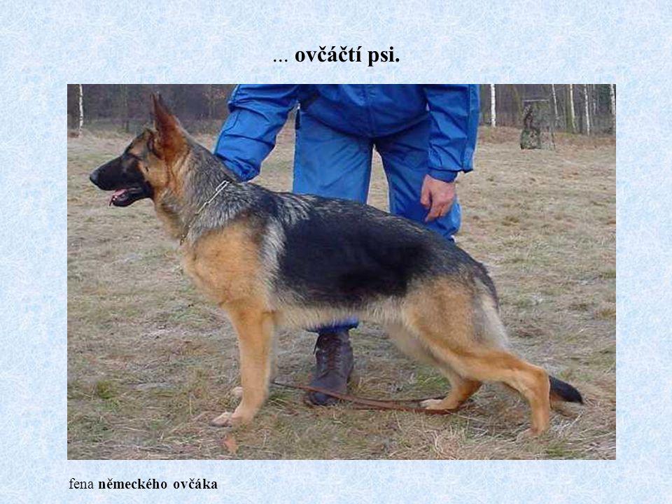 ... ovčáčtí psi. fena německého ovčáka