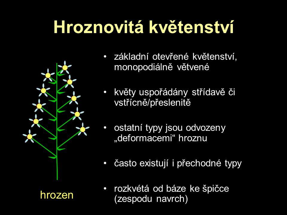 """Hroznovitá květenství základní otevřené květenství, monopodiálně větvené květy uspořádány střídavě či vstřícně/přeslenitě ostatní typy jsou odvozeny """""""
