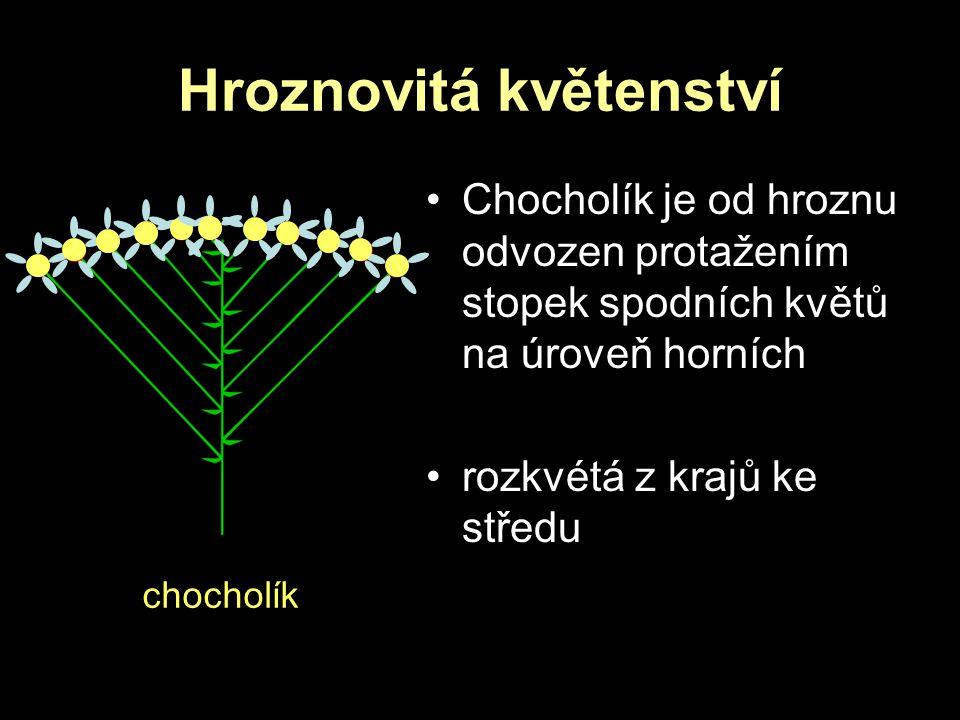 Hroznovitá květenství chocholík Chocholík je od hroznu odvozen protažením stopek spodních květů na úroveň horních rozkvétá z krajů ke středu