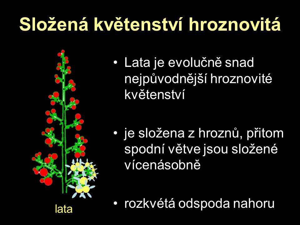 Složená květenství hroznovitá lata Lata je evolučně snad nejpůvodnější hroznovité květenství je složena z hroznů, přitom spodní větve jsou složené víc