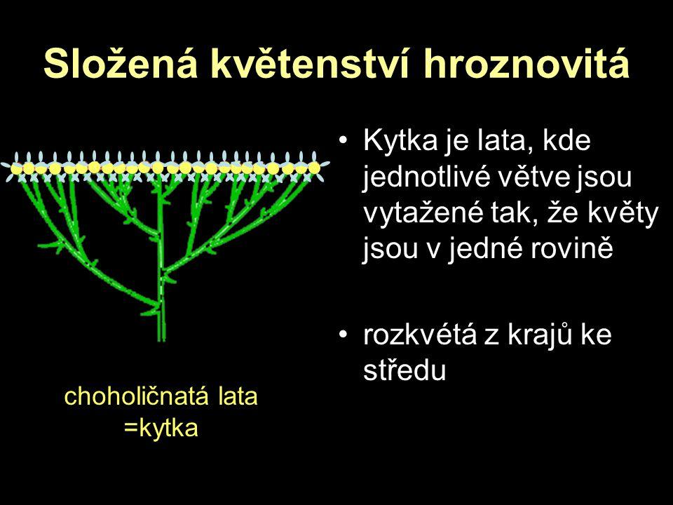 Složená květenství hroznovitá choholičnatá lata =kytka Kytka je lata, kde jednotlivé větve jsou vytažené tak, že květy jsou v jedné rovině rozkvétá z