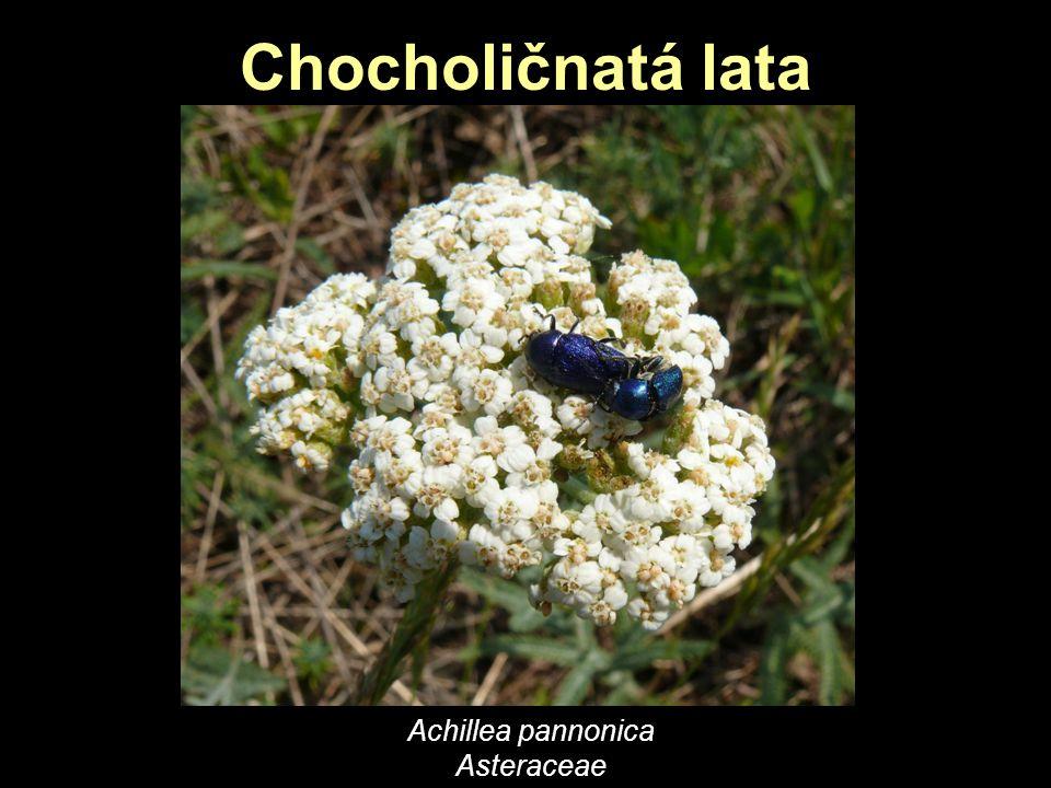 Chocholičnatá lata Achillea pannonica Asteraceae