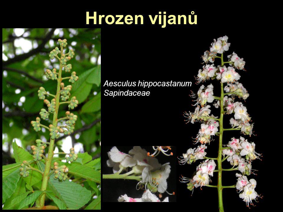 Hrozen vijanů Aesculus hippocastanum Sapindaceae